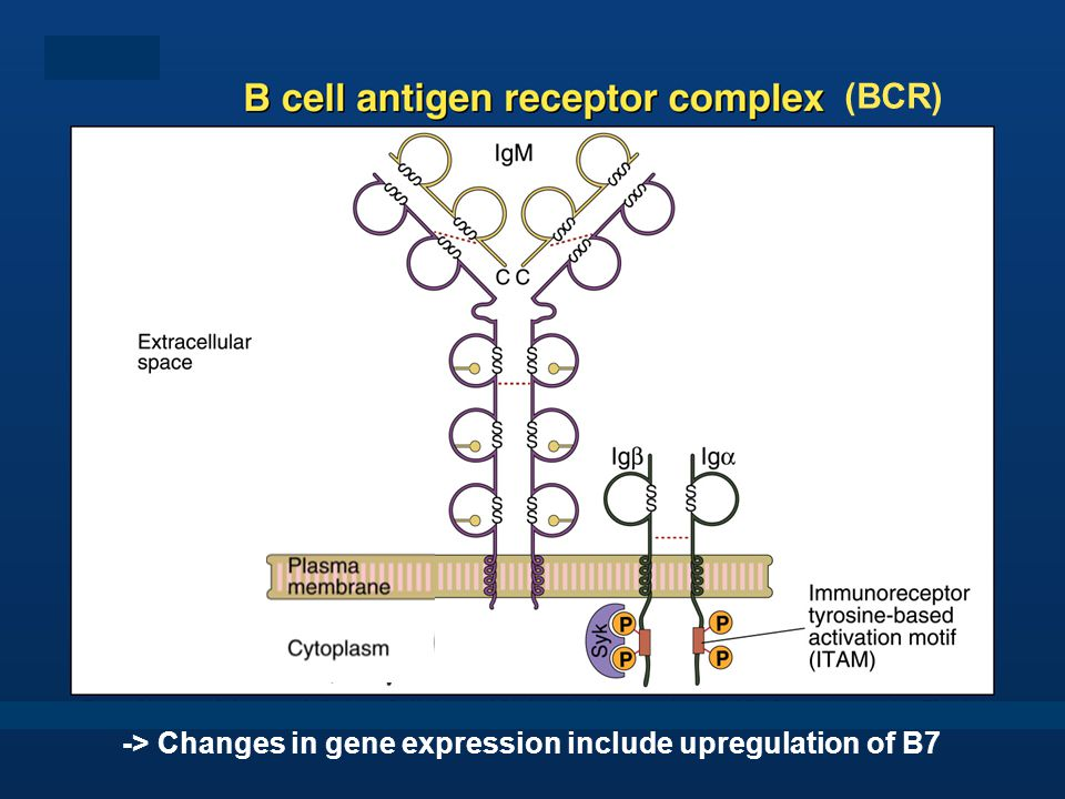 (BCR) -> Changes in gene expression include upregulation of B7