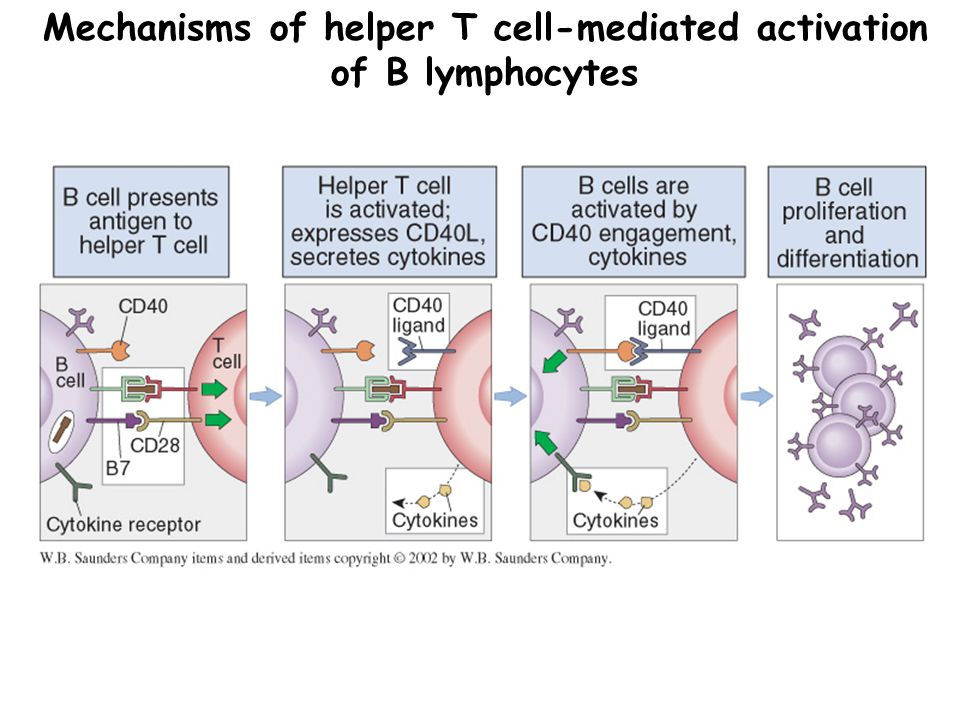 Mechanisms of helper T cell-mediated activation