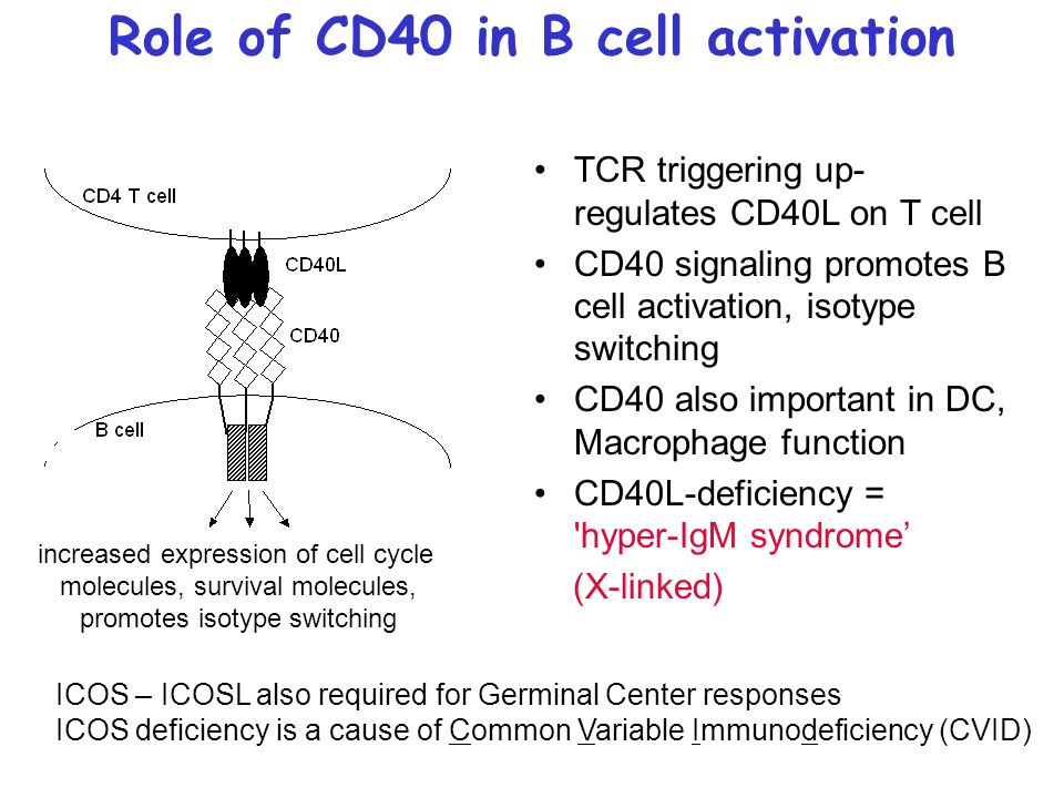 Role of CD40 in B cell activation