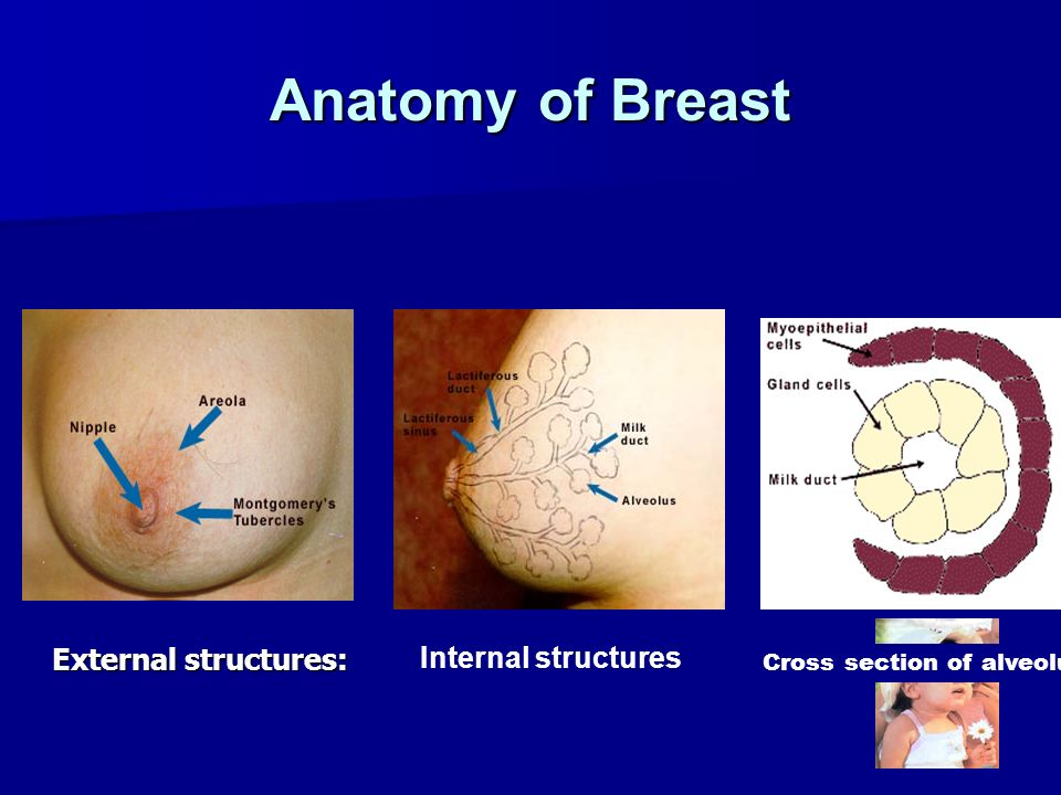 Anatomy of Breast External structures: Internal structures