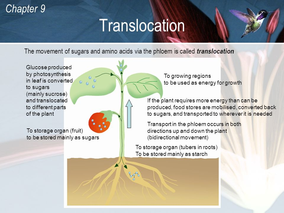 Translocation The movement of sugars and amino acids via the phloem is called translocation.