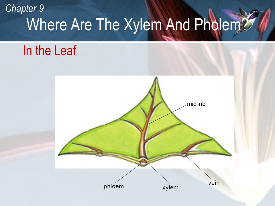 Where Are The Xylem And Pholem