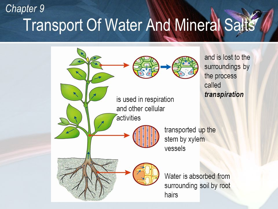 Transport Of Water And Mineral Salts