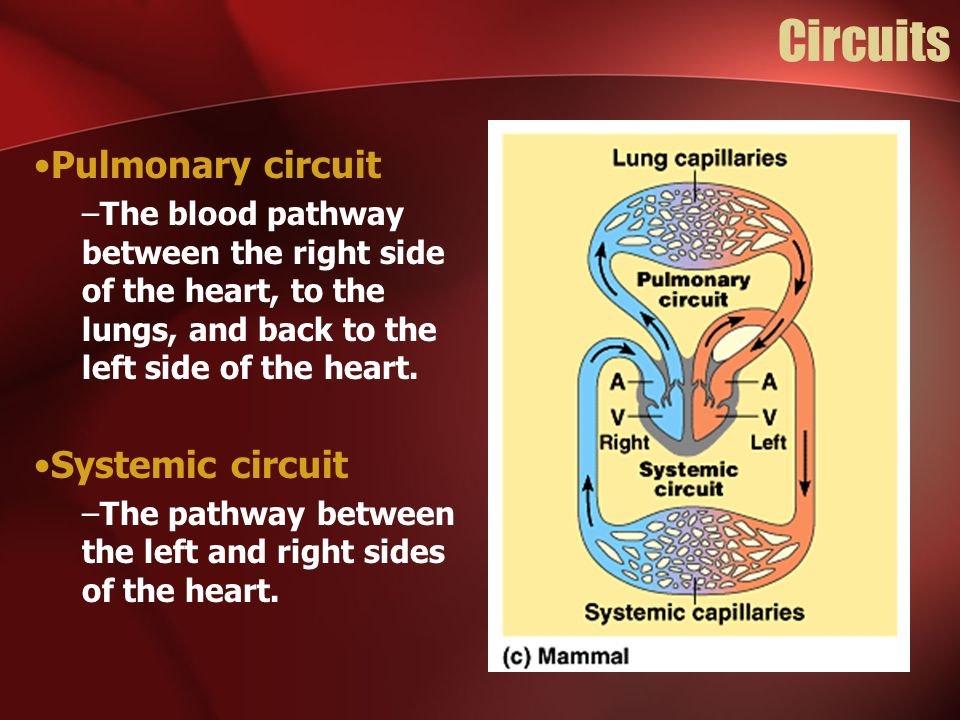 Circuits Pulmonary circuit Systemic circuit