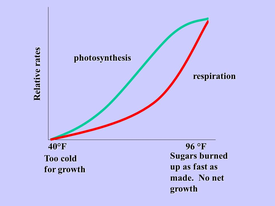 photosynthesis Relative rates. respiration. 40°F 96 °F. Sugars burned up as fast as made. No net growth.
