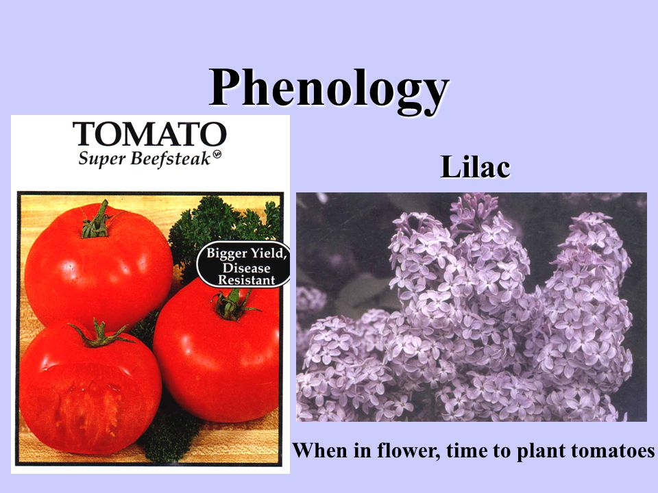 Phenology Lilac When in flower, time to plant tomatoes