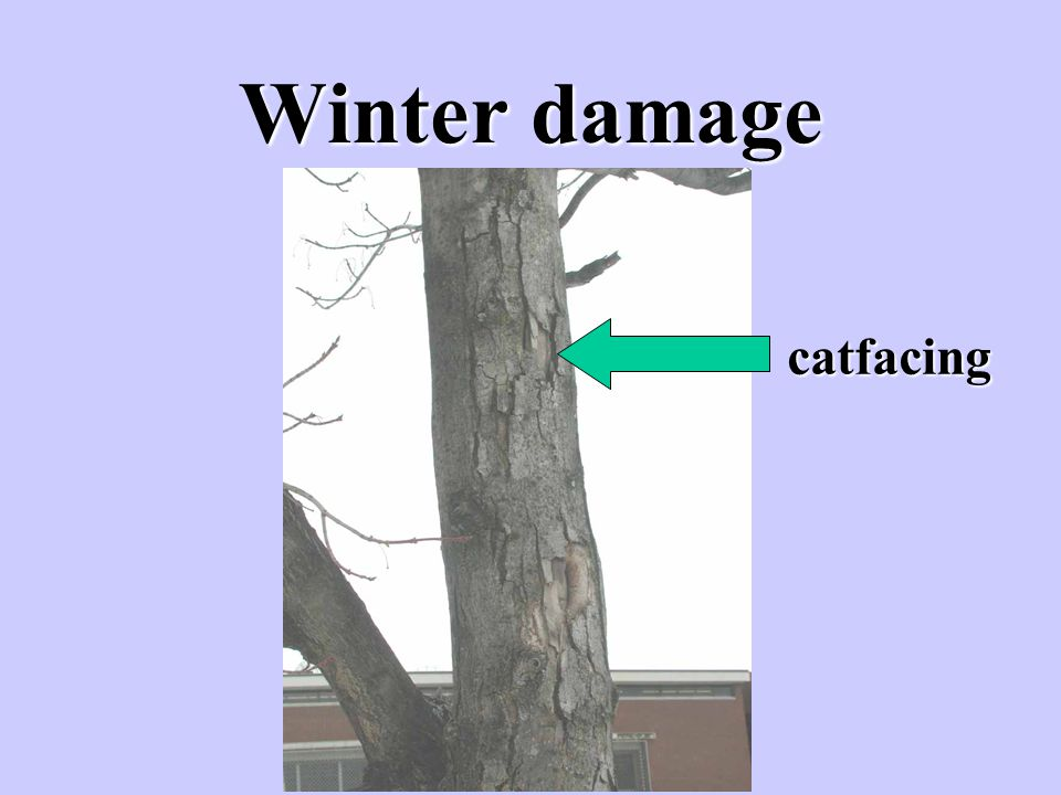 Winter damage catfacing
