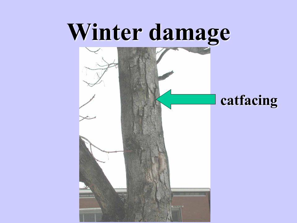 Winter damage catfacing