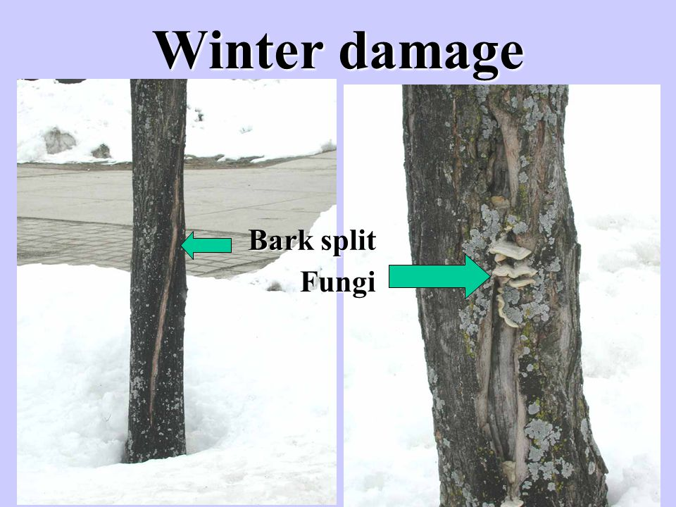 Winter damage Bark split Fungi