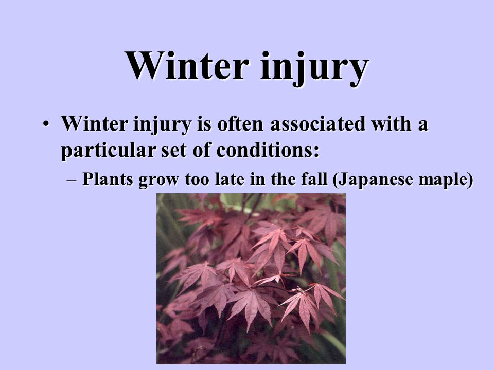Winter injury Winter injury is often associated with a particular set of conditions: Plants grow too late in the fall (Japanese maple)