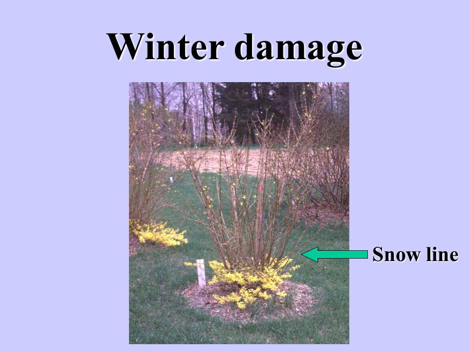 Winter damage Snow line