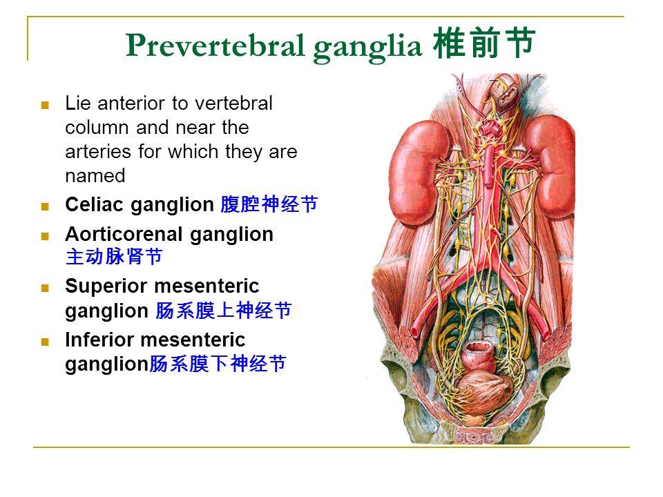 Prevertebral ganglia 椎前节