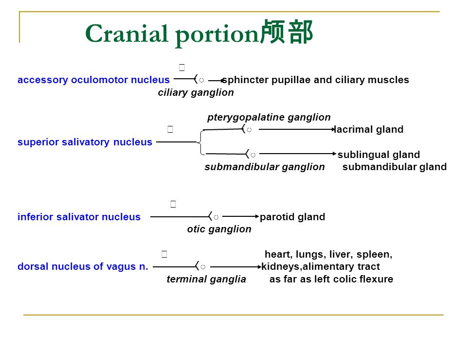 Cranial portion颅部 Ⅲ. accessory oculomotor nucleus 〈○ sphincter pupillae and ciliary muscles.