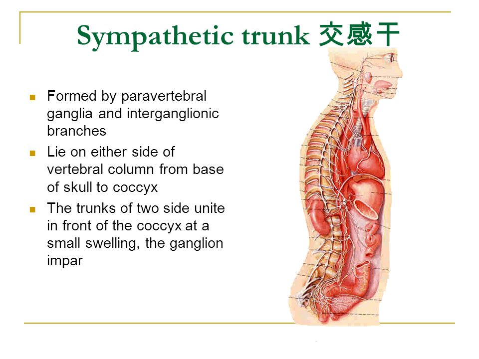 Sympathetic trunk 交感干 Formed by paravertebral ganglia and interganglionic branches.