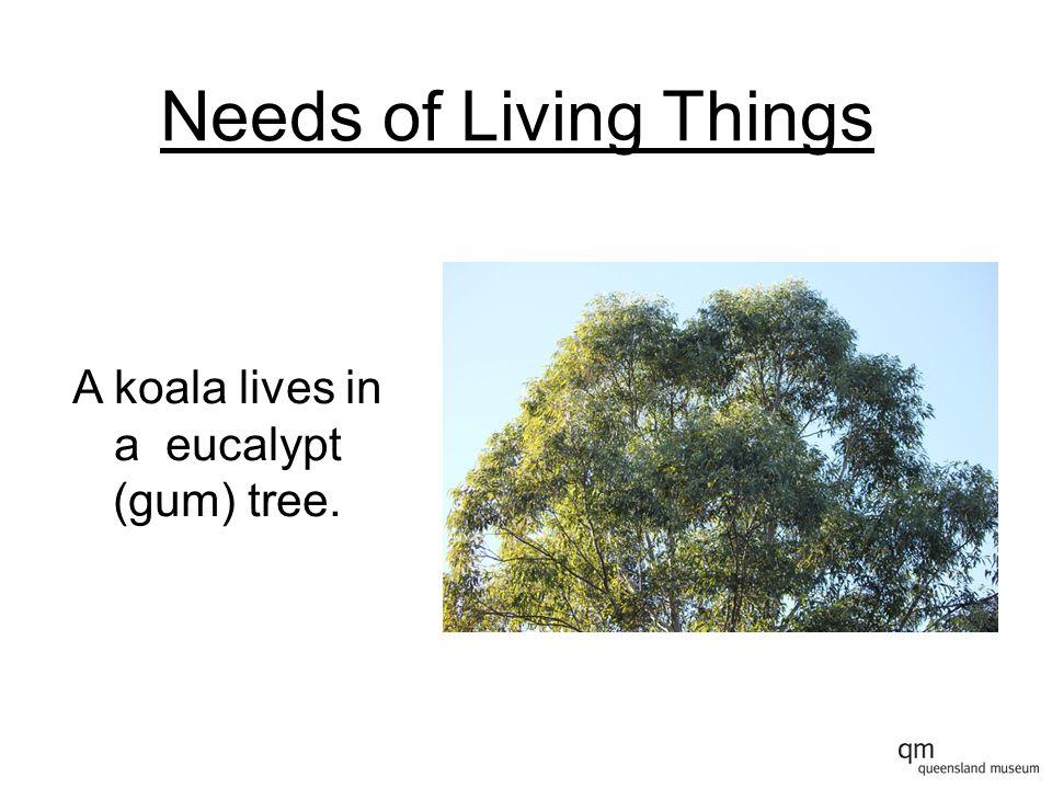 A koala lives in a eucalypt (gum) tree.