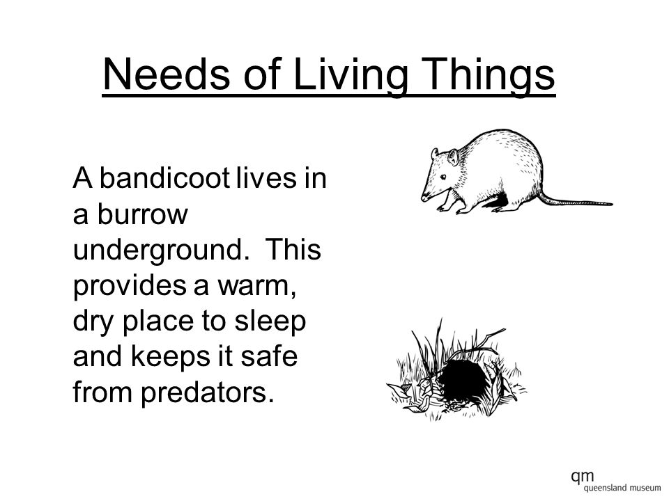 Needs of Living Things A bandicoot lives in a burrow underground.