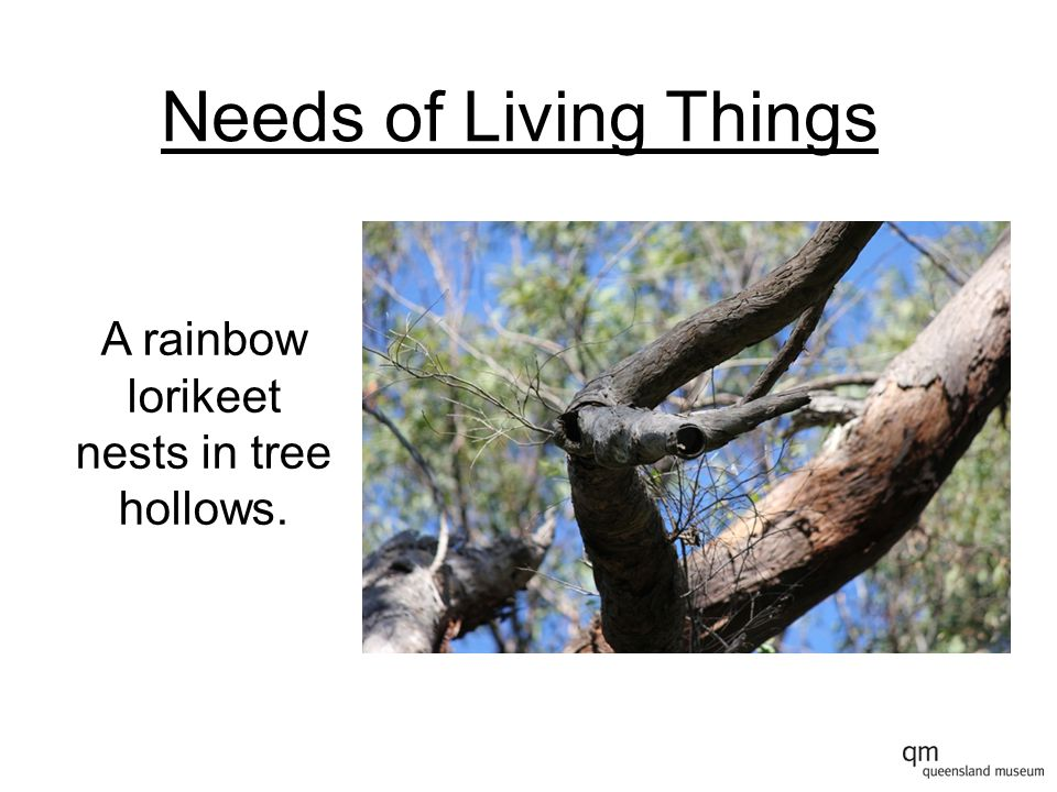 A rainbow lorikeet nests in tree hollows.