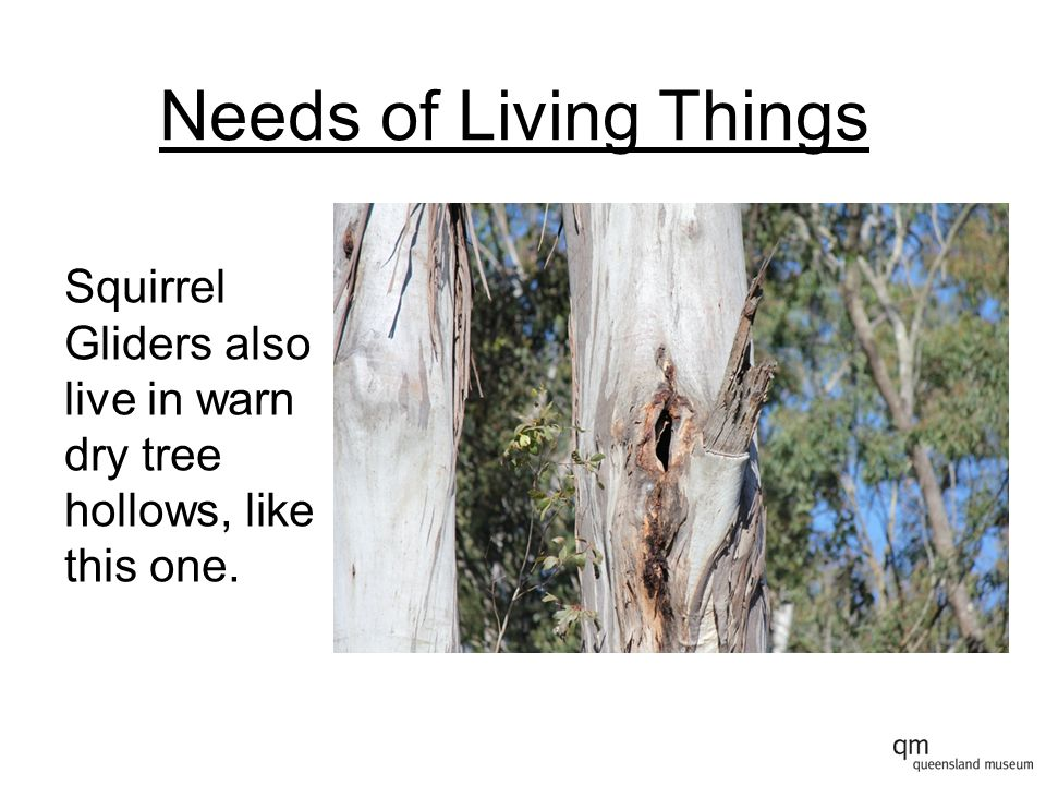 Needs of Living Things Squirrel Gliders also live in warn dry tree hollows, like this one.