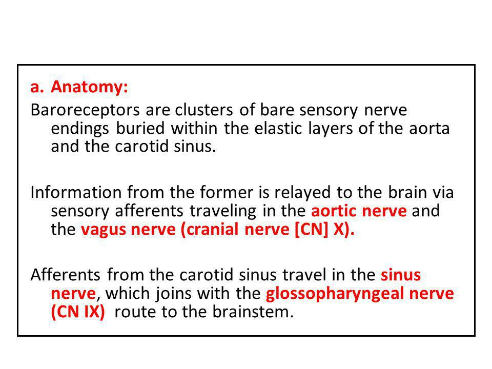 Anatomy: Baroreceptors are clusters of bare sensory nerve endings buried within the elastic layers of the aorta and the carotid sinus.