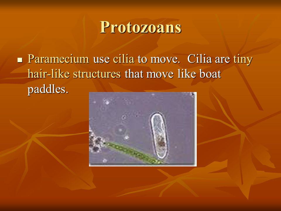 Protozoans Paramecium use cilia to move.