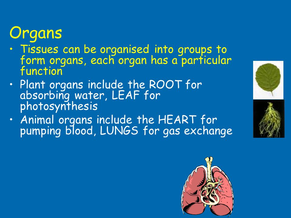 Organs Tissues can be organised into groups to form organs, each organ has a particular function.