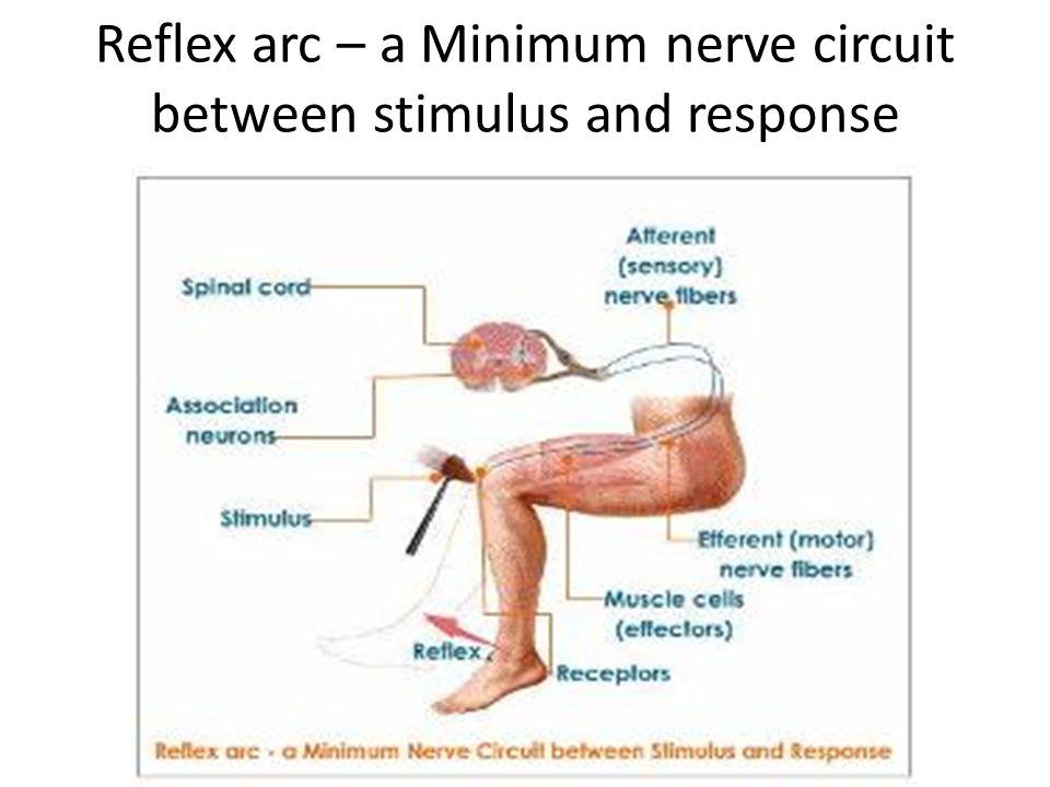 Reflex arc – a Minimum nerve circuit between stimulus and response