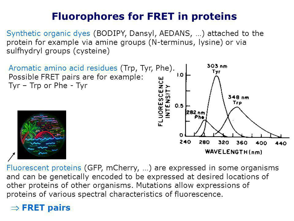 Fluorophores for FRET in proteins