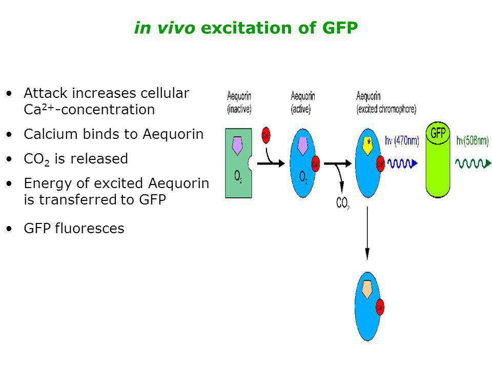 in vivo excitation of GFP