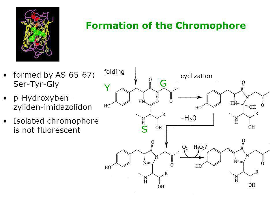 Formation of the Chromophore