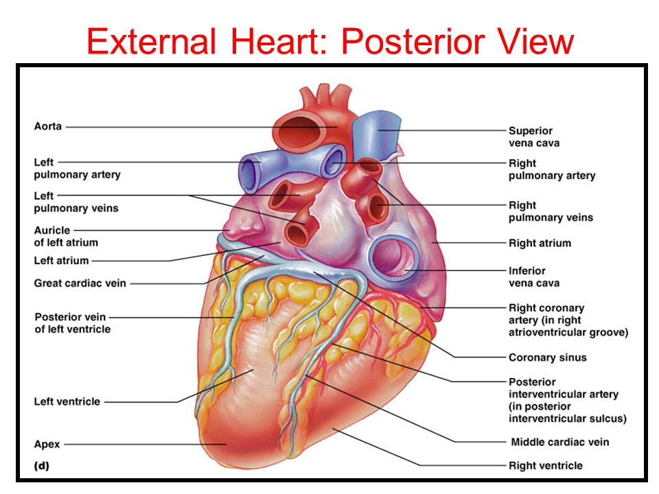 External Heart: Posterior View
