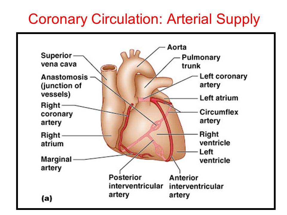 Coronary Circulation: Arterial Supply