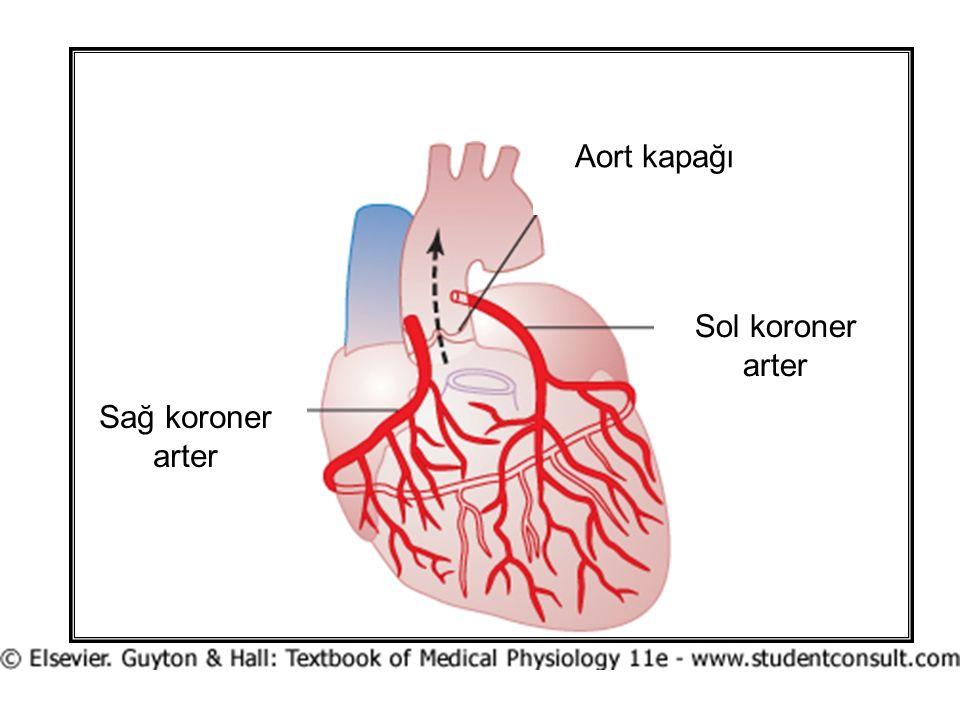 Aort kapağı Sol koroner arter Sağ koroner arter