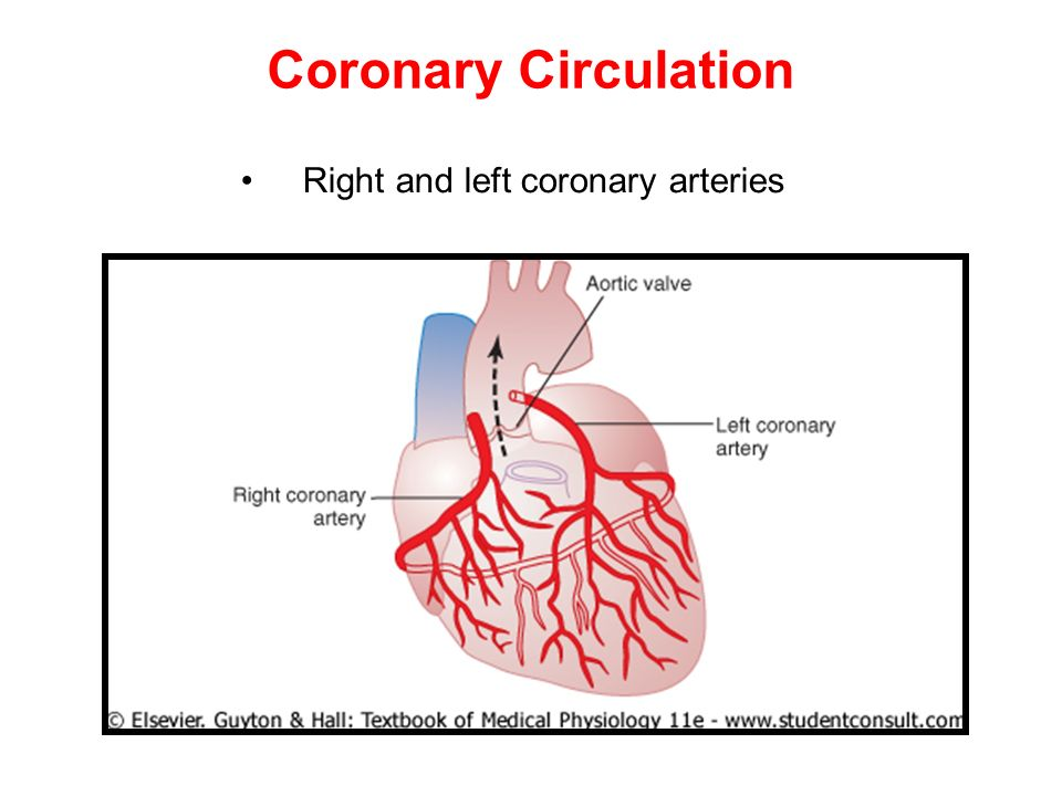 Coronary circulation anatomy