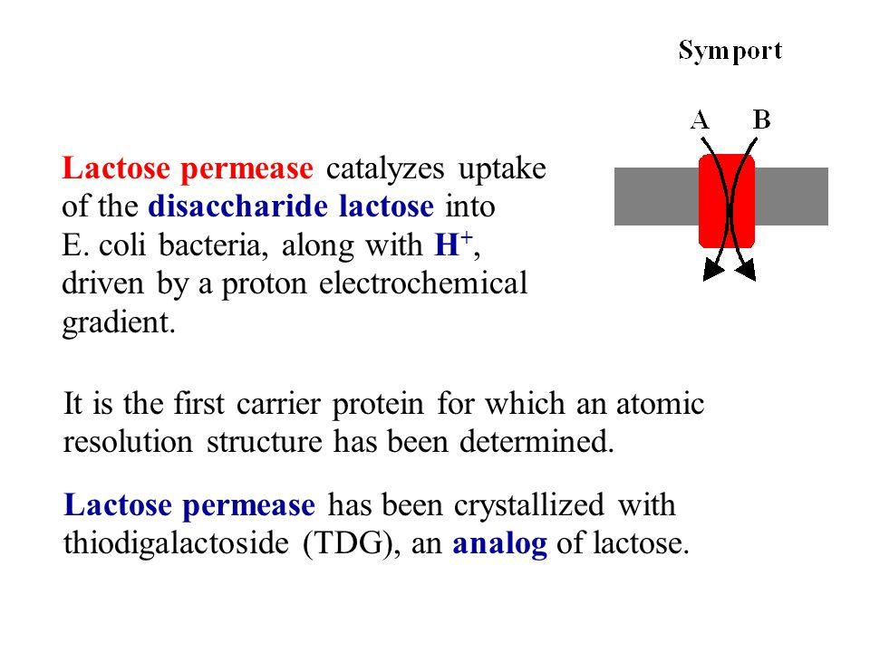 Lactose permease catalyzes uptake of the disaccharide lactose into E