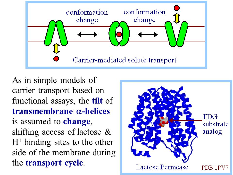 As in simple models of carrier transport based on functional assays, the tilt of transmembrane a-helices is assumed to change, shifting access of lactose & H+ binding sites to the other side of the membrane during the transport cycle.