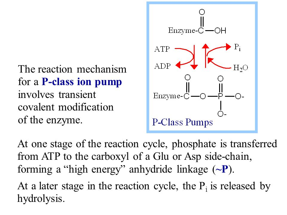 The reaction mechanism for a P-class ion pump involves transient covalent modification of the enzyme.