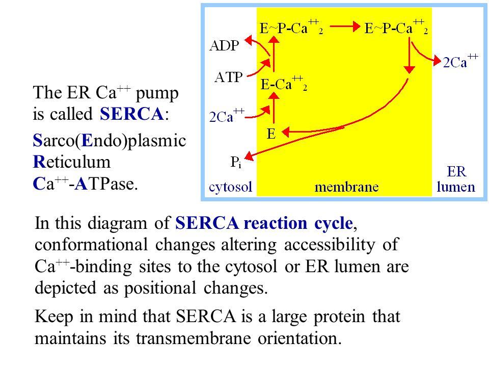 The ER Ca++ pump is called SERCA: