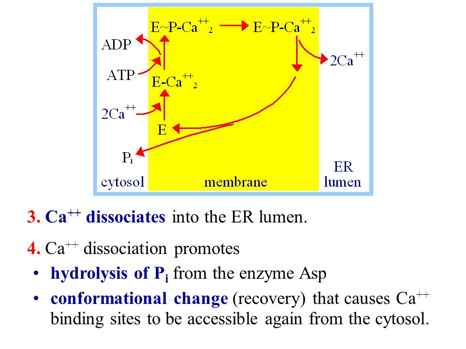 3. Ca++ dissociates into the ER lumen.
