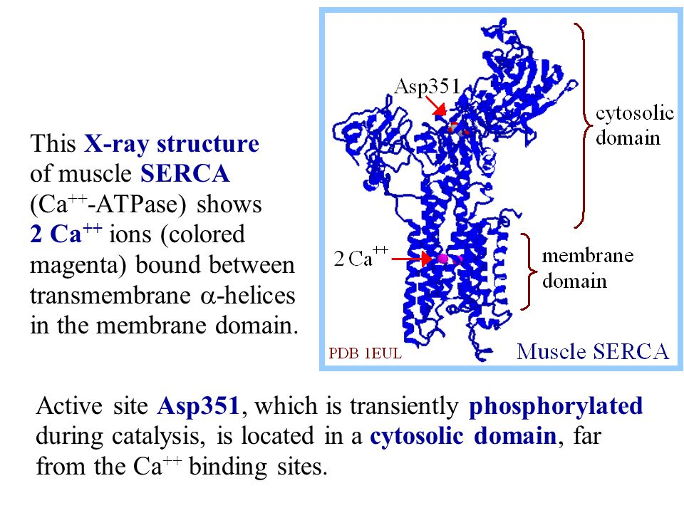 This X-ray structure of muscle SERCA (Ca++-ATPase) shows 2 Ca++ ions (colored magenta) bound between transmembrane a-helices in the membrane domain.