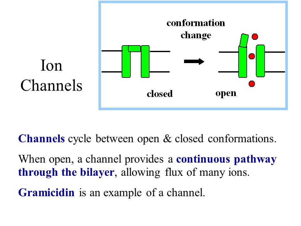 Ion Channels Channels cycle between open & closed conformations.