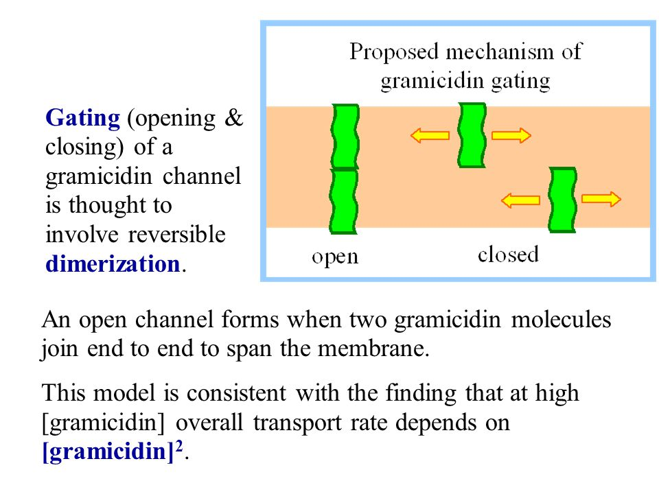Gating (opening & closing) of a gramicidin channel is thought to involve reversible dimerization.