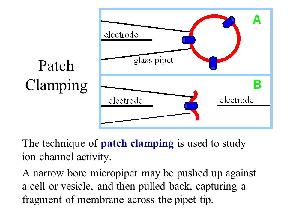 Patch Clamping The technique of patch clamping is used to study ion channel activity.
