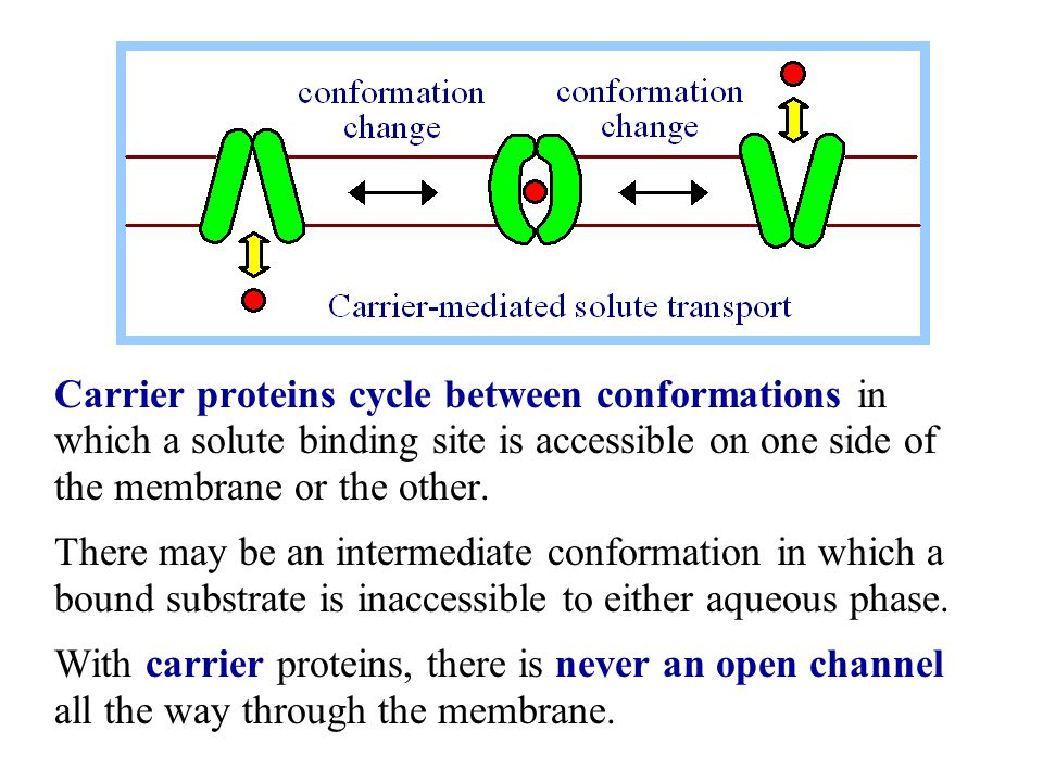 Carrier proteins cycle between conformations in which a solute binding site is accessible on one side of the membrane or the other.