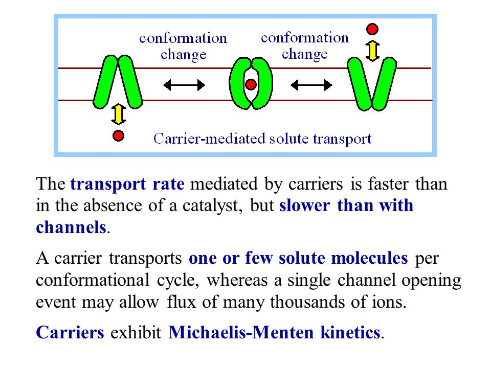 The transport rate mediated by carriers is faster than in the absence of a catalyst, but slower than with channels.