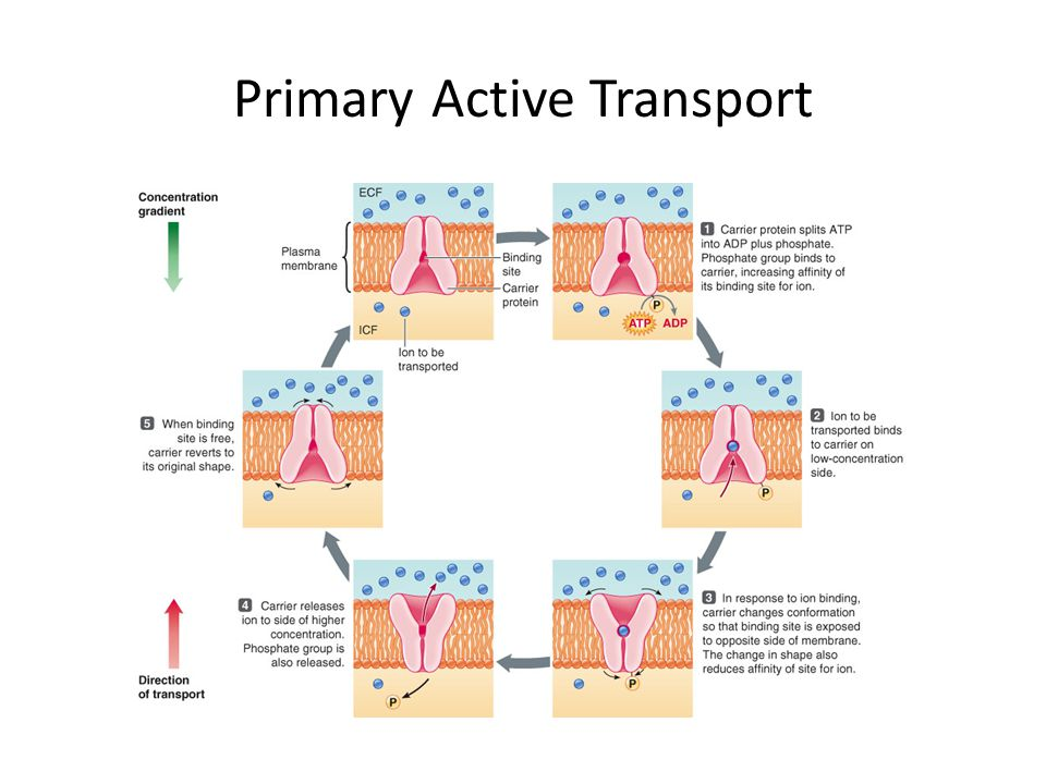Primary Active Transport