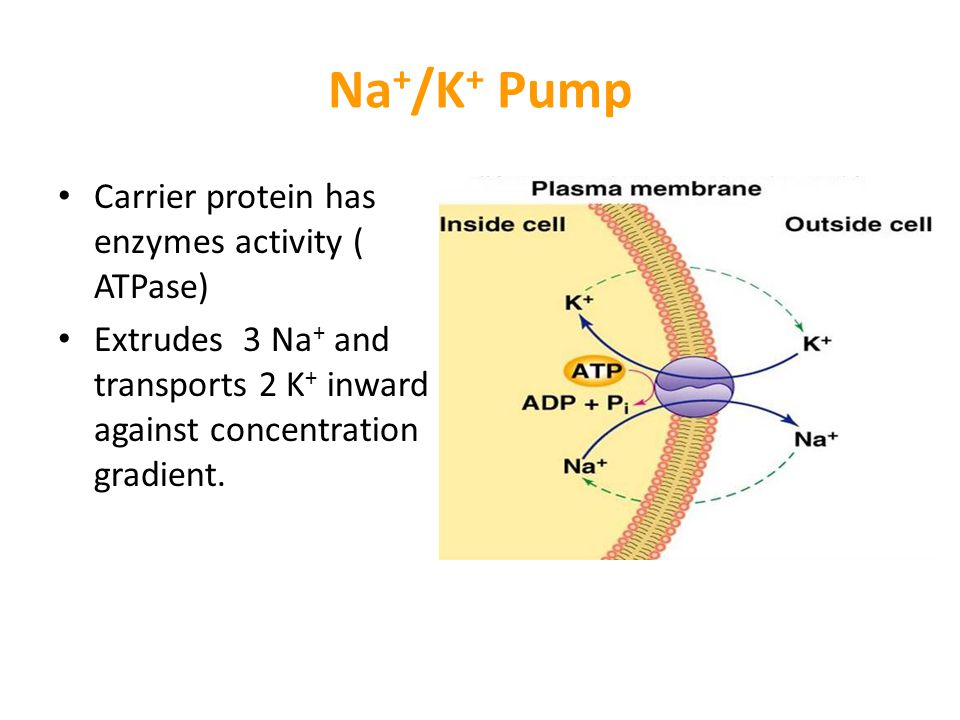 Na+/K+ Pump Carrier protein has enzymes activity ( ATPase)