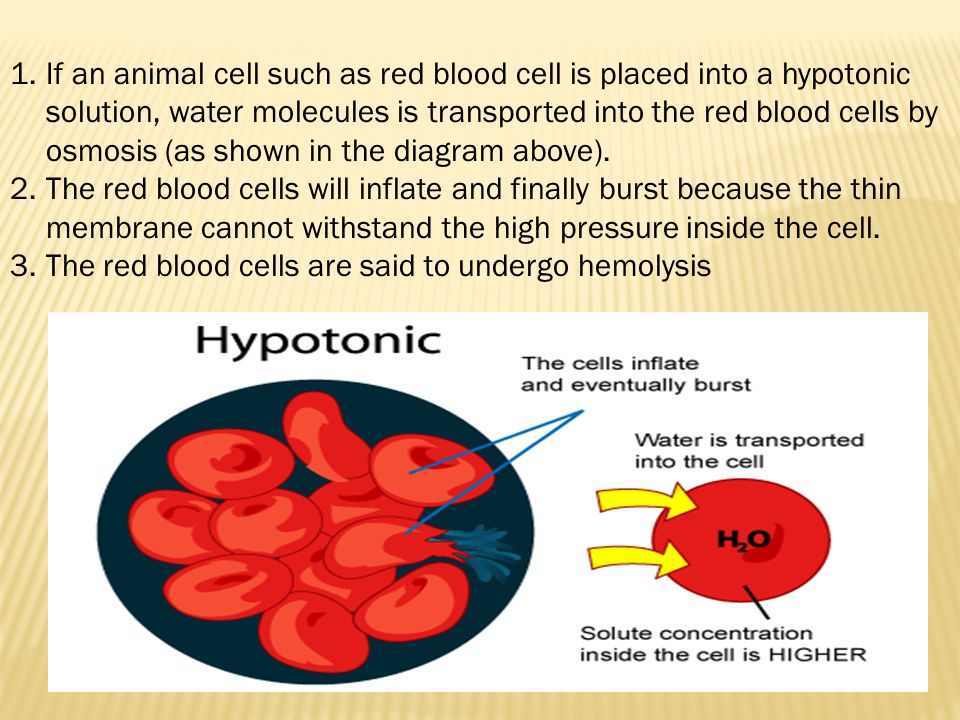 If an animal cell such as red blood cell is placed into a hypotonic solution, water molecules is transported into the red blood cells by osmosis (as shown in the diagram above).