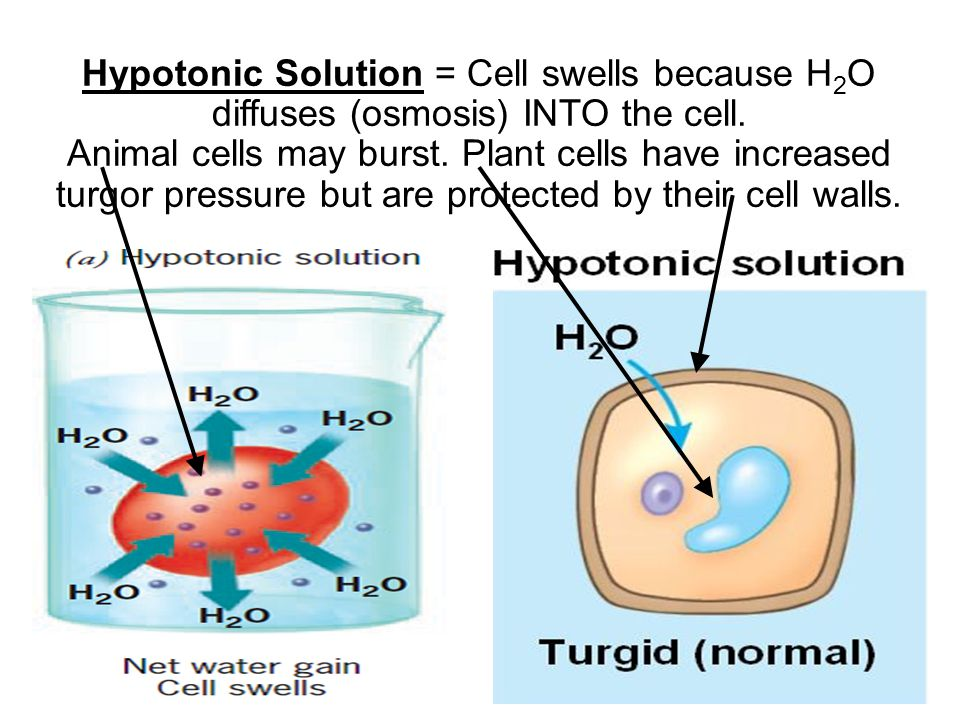 Hypotonic Solution = Cell swells because H2O diffuses (osmosis) INTO the cell.