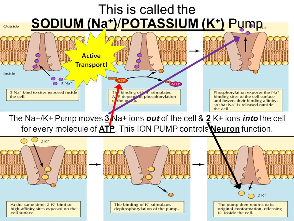 This is called the SODIUM (Na+)/POTASSIUM (K+) Pump
