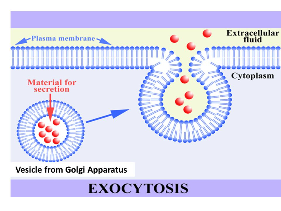 Vesicle from Golgi Apparatus